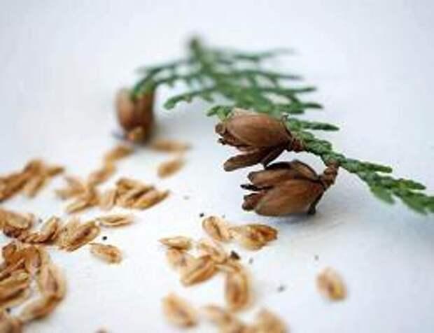 Как вырастить тую из семян? Стоит ли это делать в домашних условиях?