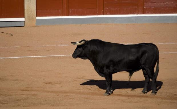 Этимология Собственно, называть бои быков корридой не совсем корректно. Слово corrida произошло от глагола correr, «бежать». То есть, corrida de toros можно перевести как «бег быков». Испанцы предпочитают сокращать фразу до емкого toros — просто «быки».