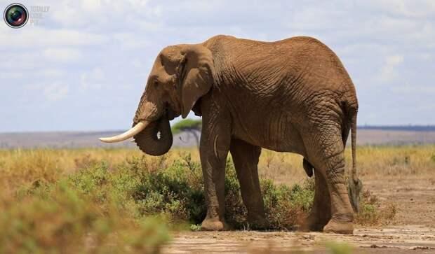Обитатели Национального парка Амбосели в Кении