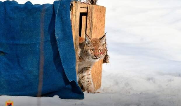 Рысь, гулявшую поПетрозаводску, вернули домой