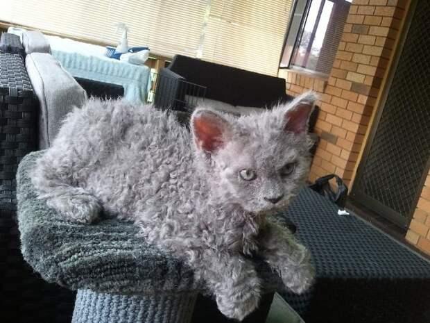 Кудрявые кошки: Милота в квадрате. Уникальная поломка генов превращает котика в «овечку»