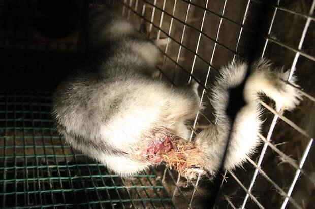 Жуткая рана у основания хвоста полярной лисы.
