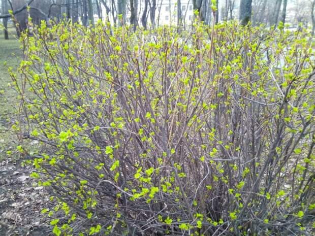 Фото дня: весенняя листва в Бескудниковском