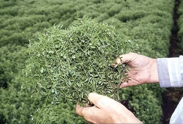 Выращивание на даче древнейшей культуры - чечевицы