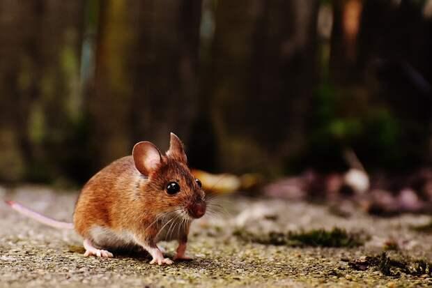 В Удмуртии в 2,5 раза снизилась заболеваемость мышиной лихорадкой