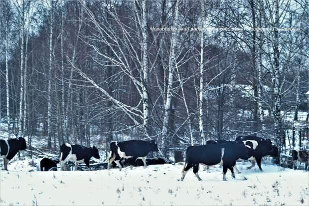 В заповеднике зоны отчуждения Чернобыльской АЭС зимует стадо одичавших домашних коров. Фото