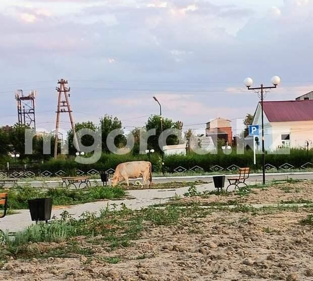 В селе ЗКО домашние животные вытаптывают клумбы в парке