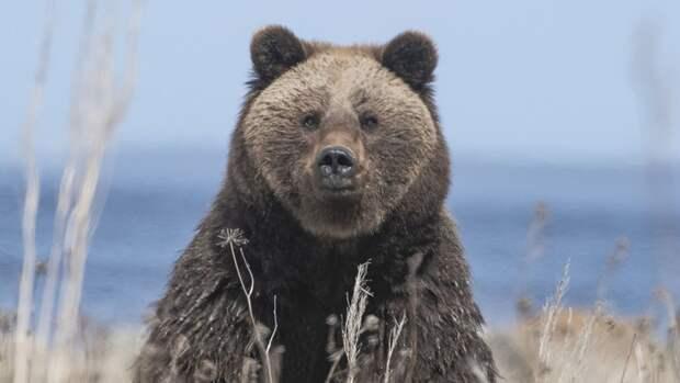 Мужчина погиб в результате нападения раненого медведя в Хабаровском крае