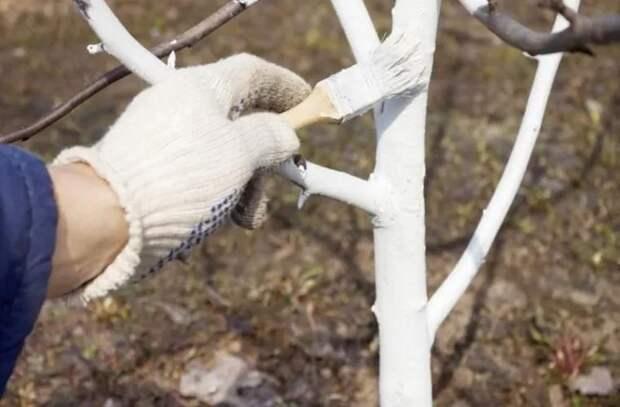 Когда белить деревья и как  приготовить смесь для побелки