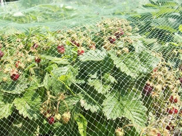 Как защитить урожай от птиц: популярные эффективные способы!