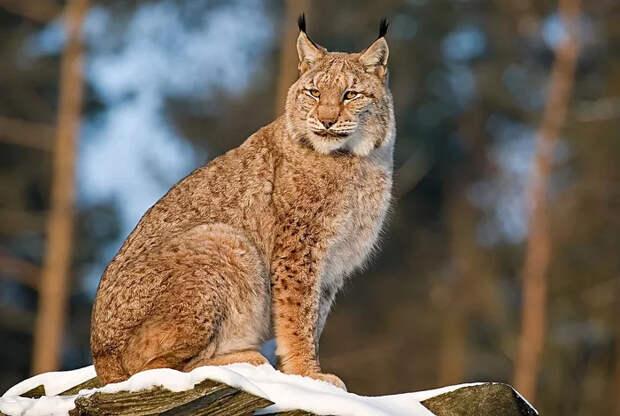 Несколькоинтересных фактов о рысях, которые могут удивить Рысь, Животные, Яндекс Дзен, Длиннопост