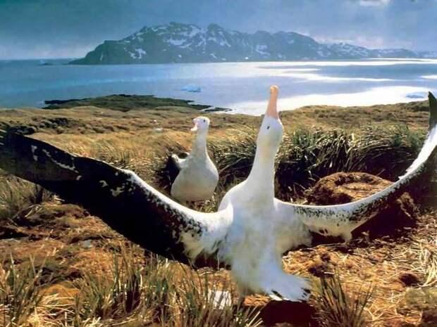 Альбатрос-птица-Описание-образ-жизни-и-виды-альбатроса-10