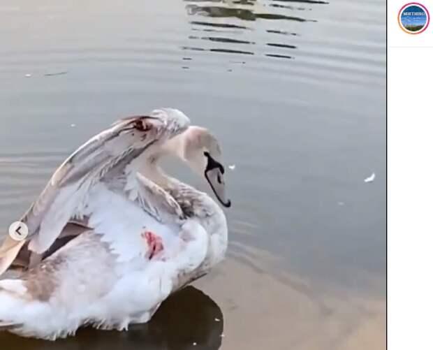 Лебедь в Митине ранил себя сам — администрация парка