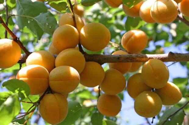 А это точно-точно дикорастущие абрикосы?