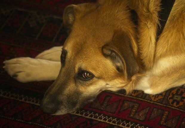 Потрёпанная собака бежала за машиной два километра в надежде обрести новых хозяев. Водитель не удержался и нажал на тормоза
