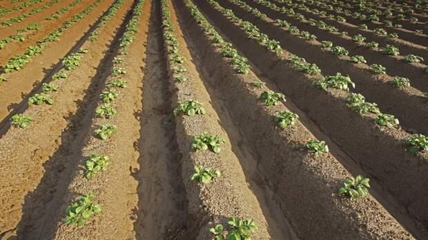 Назван простой способ повысить урожай картошки на 15%