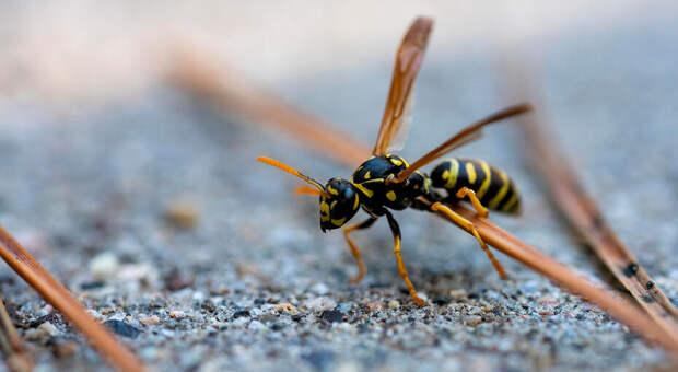 Пчела, оса, шмель или шершень: чей укус больнее иопаснее?