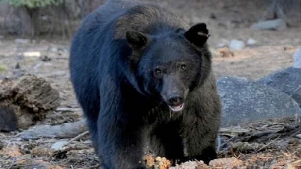 В окрестности дома Меган Маркл и принца Гарри забрел медведь