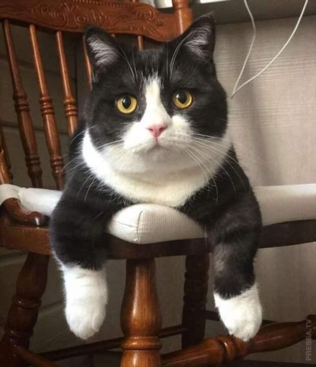 Московский кот с короткими лапками становится популярным