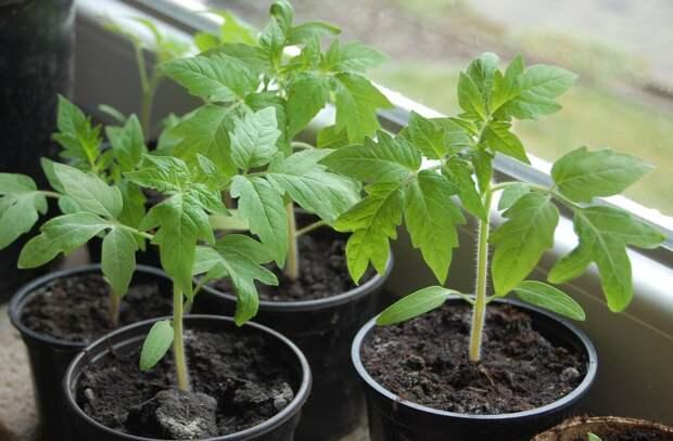 Постулаты про томаты: 5 вопросов от начинающих дачников