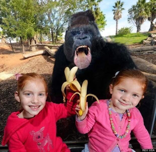 Горилла, которая любит бананы в кадре, главные герои, животные, забавно, смешно, фото, юмор