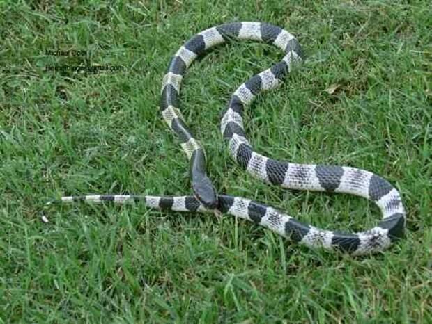 3. Малайский синий крайт   змеи, самые ядовитые, топ, топ-10