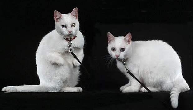 Котята с такой мутацией встречаются и у обычных кошек, но закреплять болезнь в породу было бы настоящим зверством!