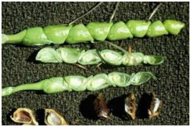 Теосинте из Мексики ставшее кукурузой интересное, овощи, происхождение, факты
