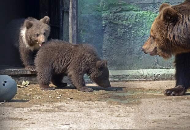 Медведица Ляля из нижегородского зоопарка «Лимпопо» вывела детенышей на прогулку