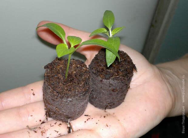 Перцы: от семечка до урожая. Опыт выращивания