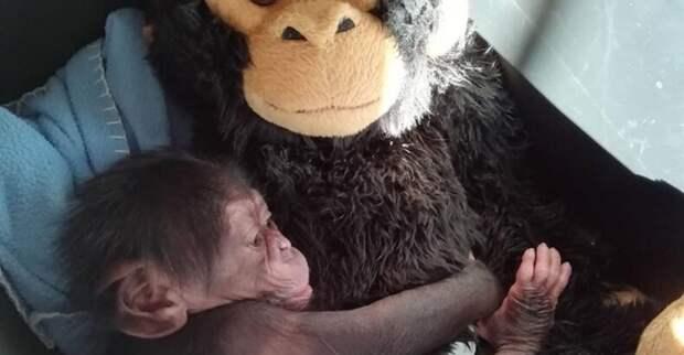 Брошенному детенышу шимпанзе, мягкая игрушка, на время заменила маму