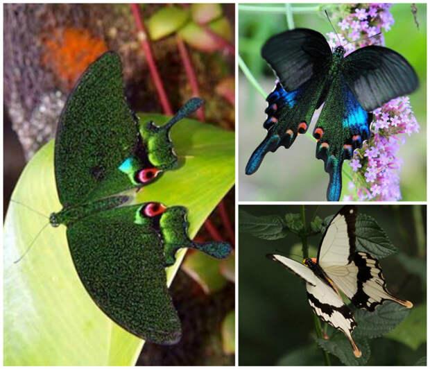 Mabra elephantophila  питается исключительно слезами слонов - в ней содержится не только соль и вода, но и белки бабочки, интересное, красота, насекомые