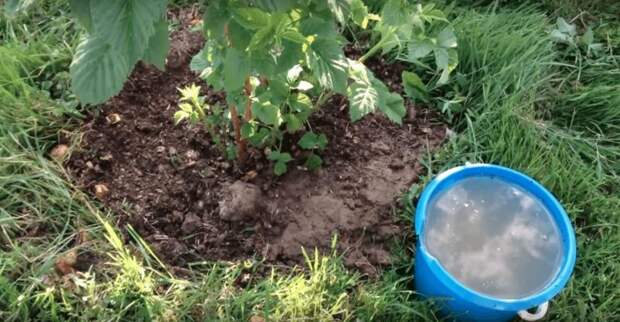 После такой подкормки ваша малина завалит вас урожаем крупных сладких ягод