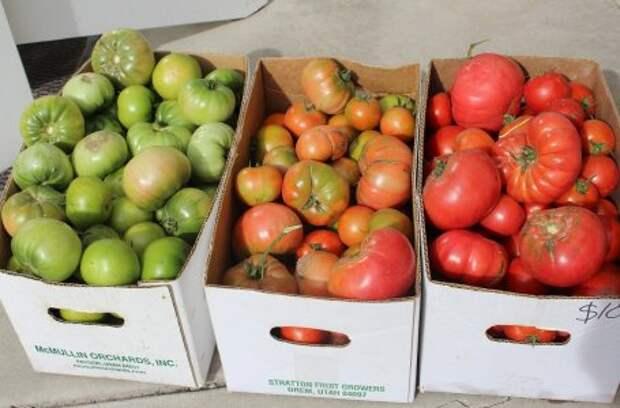 Почему помидоры гниют на кустах: все возможные причины и советы, что делать