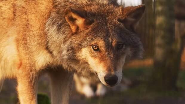 Седая волчица забрала неисцелимую болезнь мальчика себе и он снова стал ходить