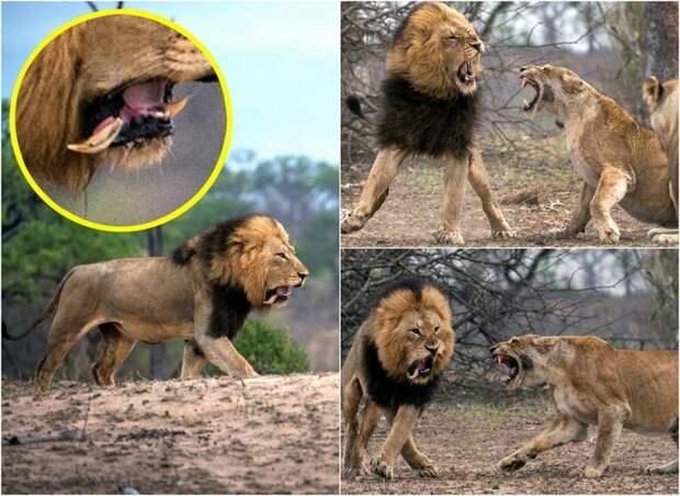 Царь зверей потерял зуб после схватки с львицей животные, зуб