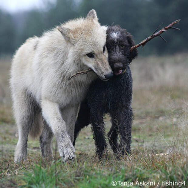 Волк и собака (24 фото)