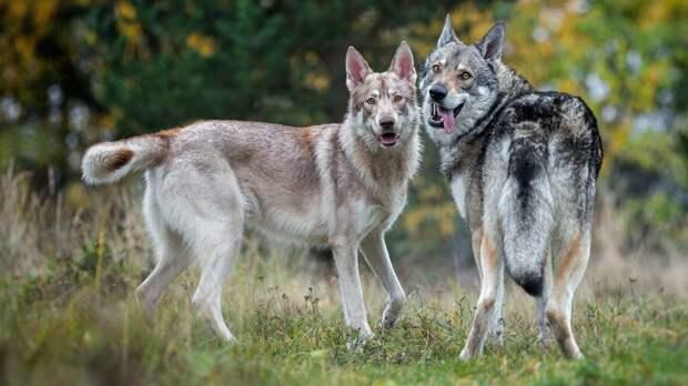 Почему волки создают пары с собаками, и каких именно собак выбирают