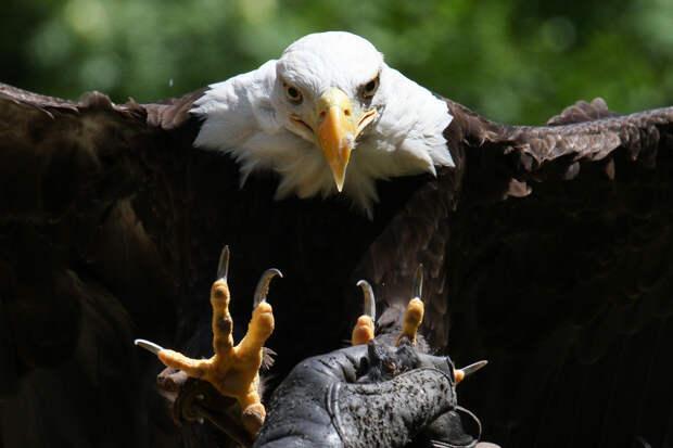 8 место. Белоголовый орлан — национальный символ США. Питается мелкими млекопитающими, рыбой и падалью. Охотиться предпочитает утром. Представители данного вида обитают на территории США, Канады, островов Сен-Пьер и Микелон. (Mark Dumont)