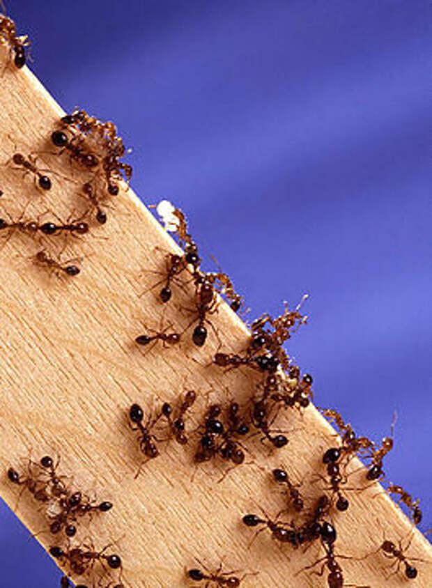 http://upload.wikimedia.org/wikipedia/commons/thumb/1/18/Fire_ants02.jpg/265px-Fire_ants02.jpg