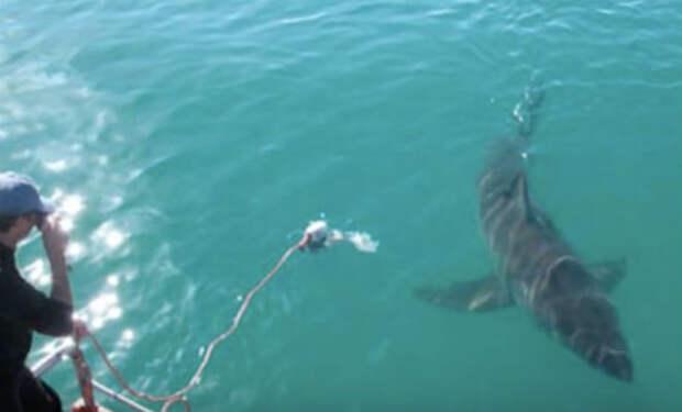 Рыбак спас белую акулу, а она его отблагодарила