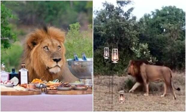 Лев показал туристам на сафари, кто тут настоящий хозяин саванны
