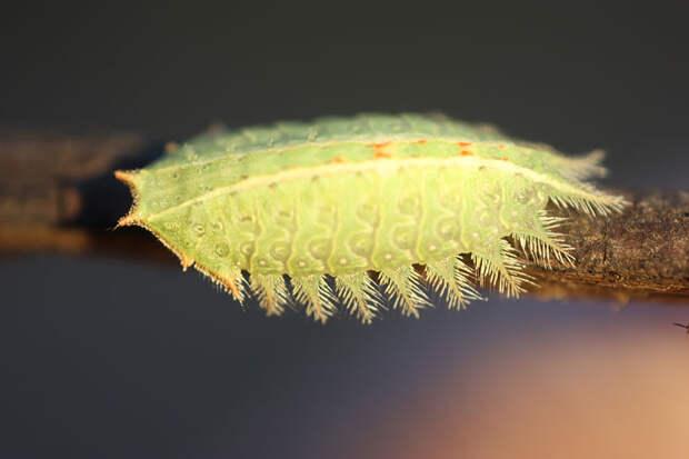 caterpillar-moth-butterfly-before-after-metamorphosis-4-1