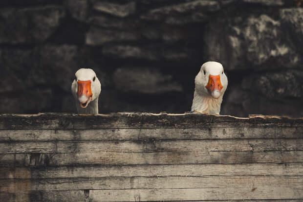 В Великобритании мужчину хотят разлучить с любимыми гусями
