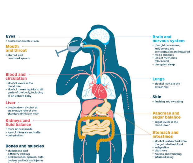 Как алкоголь влияет на организм человека