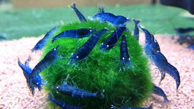 Кладофора способна создать благоприятную среду обитания для жителей аквариума