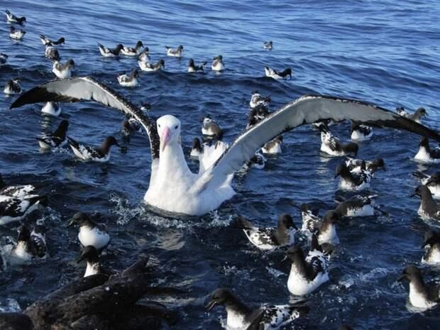 Альбатрос-птица-Описание-образ-жизни-и-виды-альбатроса-9