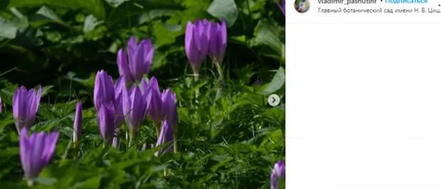 Фото дня: в Ботаническом саду расцвели безвременники