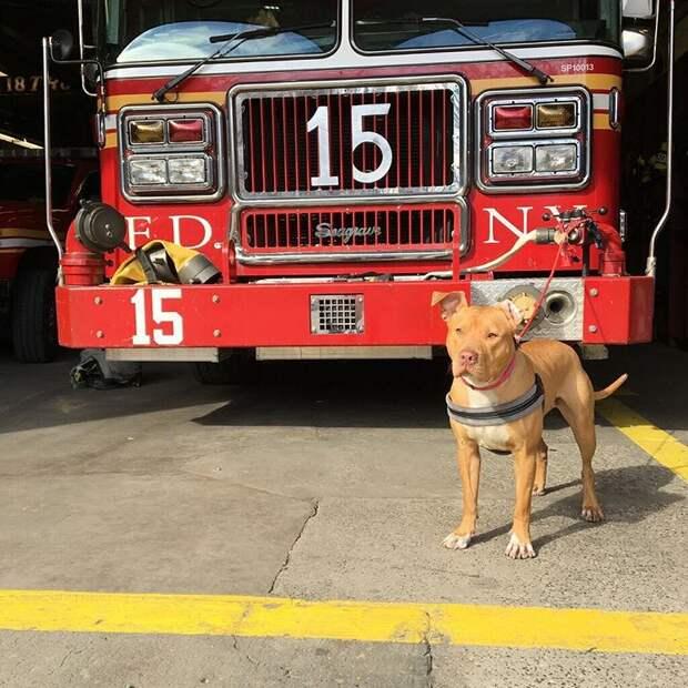 Нью-йоркские пожарные устроили на работу брошенного хозяевами питбуля