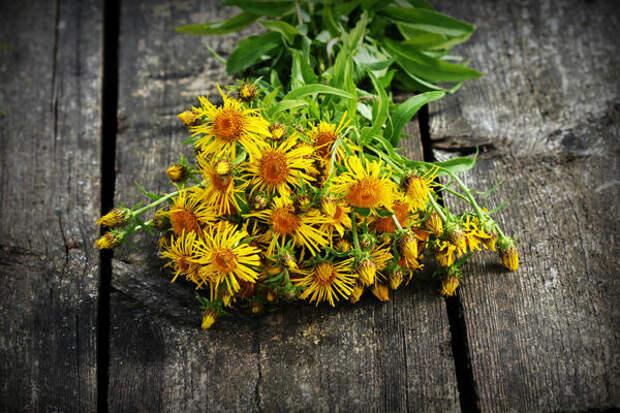 Одно соцветие девясила дает несколько сотен семян